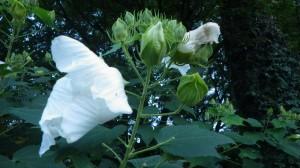 門前の白芙蓉は、夕刻にはしぼんでいる